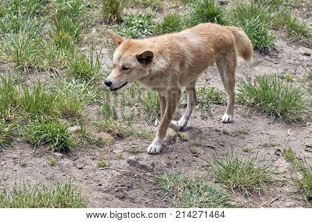 the golden dingo has a bushy tail