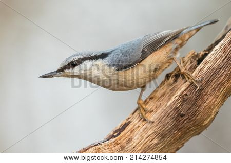 Eurasian Nuthatch Sitta europaea in the autumn, sitting on a dead branch. Kristiansand, Norway