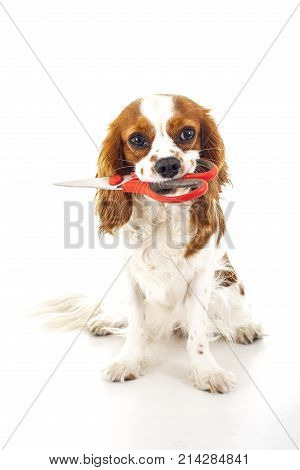 Beautiful friendly cavalier king charles spaniel dog. Purebred canine trained dog puppy. Blenheim spaniel dog puppy with scissors. Cute.