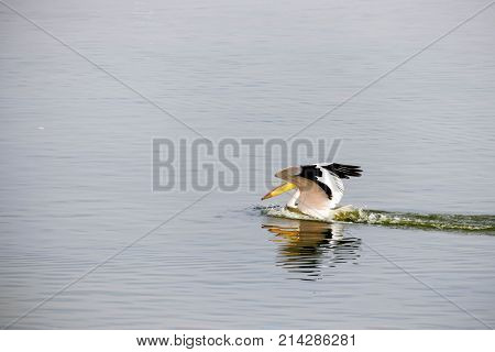 Pelican On The Water On A Lake With Open Wings Dissects Water