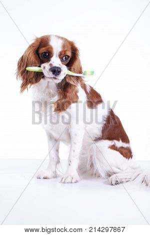 Dog with toothbrush. Beautiful friendly cavalier king charles spaniel dog. Purebred canine trained dog puppy. Blenheim spaniel dog puppy. Cute.