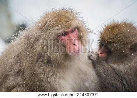 Japanese snow monkey in Jigokudani Nagano Japan