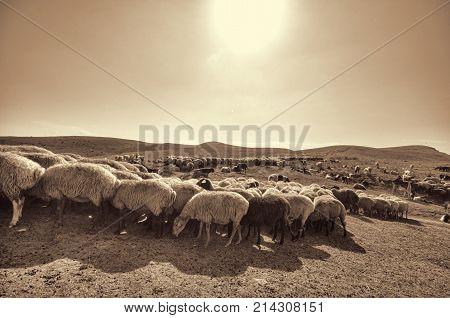 Shepherd Drives On The Mountain Route An Attara Of Sheep, The Desert Mountain Area, Azerbaijan