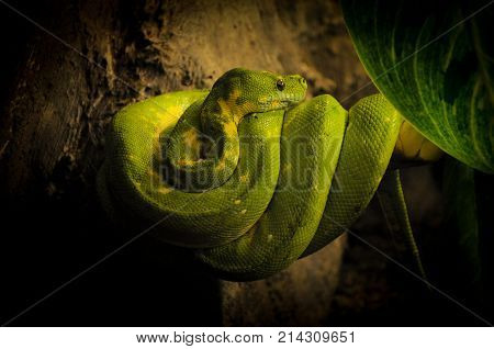 Green Boa Rolled up around a Branch