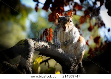 Caroline's Grey Squirrel on the Watch on a Branch