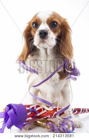 Happy new year Illustrate your work with king charles spaniel New year illustration. Dog celebrate New year's eve with sylvester trumpet. Beautiful friendly cavalier king charles spaniel dog. Purebred canine trained dog puppy. Blenheim spaniel dog cute pu