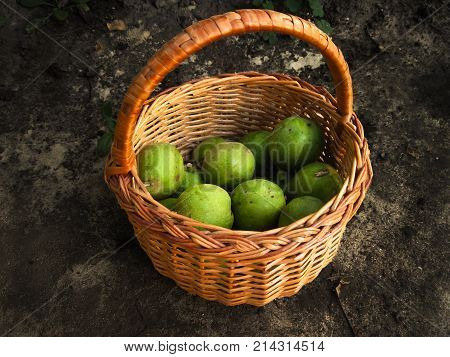 Brown basket with many green walnuts. Fall harvest of fruits in pottle