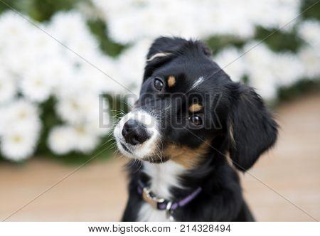 this is an image of my Mini Australian Shepherd puppy