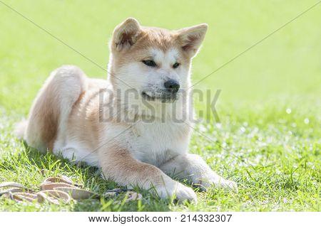 Close Up On Akita Inu Puppy Purebreed Dog On The Grass