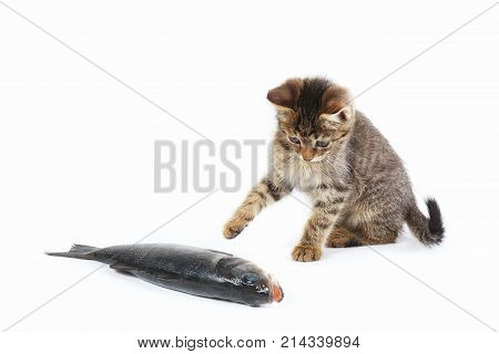 Pretty kitten looks at a labrax fish on a white background