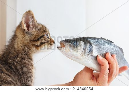 Female hand offers a pretty kitten a labrax fish