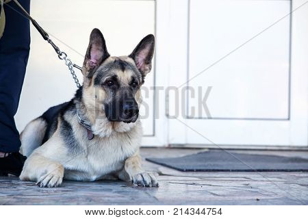 Dog breed German Shepherd guards the house