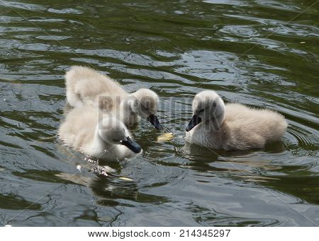 Kleine süße Schwanen Babys in einem Teich