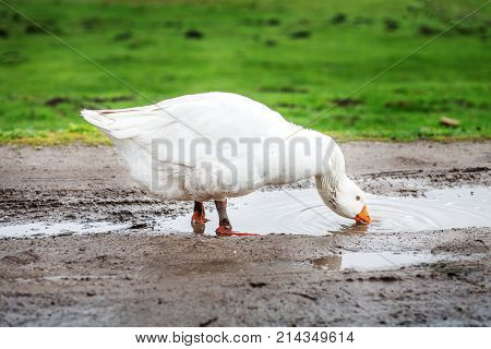 White Domestic Goose Drinking Water From Puddles. The Concept Is