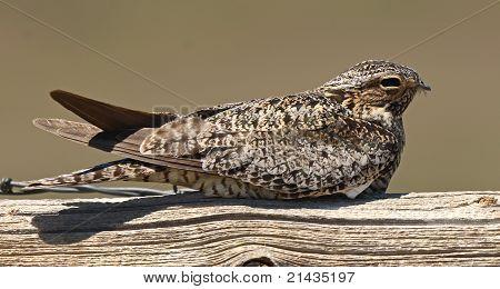 Common Nighthawk Resting