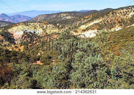 Pinyon Pine Forest amongst barren hills and chaparral shrubs taken in the arid and rural Southern Sierra Nevada Mountains, CA
