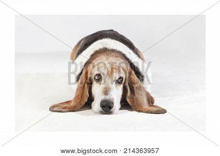 Head with long ears of a Basset Hound breed dog lying in front of light background
