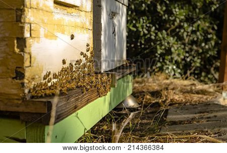 Bees everywhere and in golden light. Bee hives Bees return to the hives during the harvest. Lot of bees fly near a number of beehives. Bee farm San Diego county California