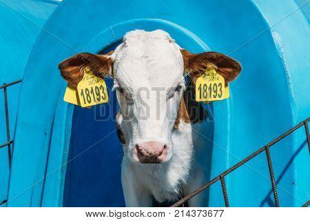 Cute happy calf looking at camera from calf box house, livestock dairy farm domestic animals concept