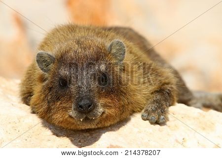 Damanaceae are a family of small, stocky herbivorous mammals poster