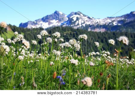Wildflowers at Mount Rainier national park Seattle Washington