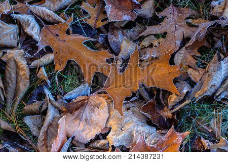 Dying frosty brown oak leaves lying on green grass ground on fall autumn morning