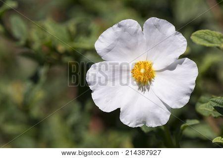 Single White Cistus Salvifolius - Rockrose