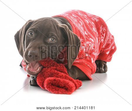 german shorthaired pointer puppy wearing pajamas on white background