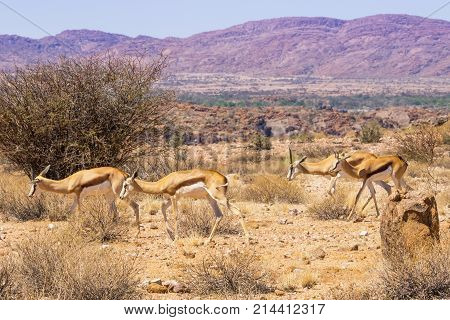 Two female springbok with their sub adult offspring in Augrabies Falls National Park in South Africa.