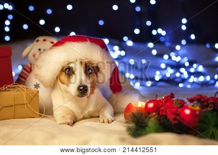 Dog in christmas hat. Pet with gift