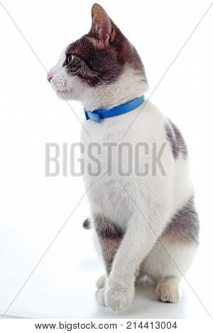 Domestic cat on isolated white background. Cat wanting food. Trained cat. Animal mammal pet. Beautiful grey white cat young kitten on isolated white studio photo background. Cat with beautiful eyes. Cat posing.