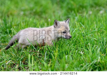Close up fox cub in grass in summer