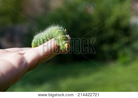 Hand holding green caterpillar/ Imperial moth caterpillar on sitting on hand