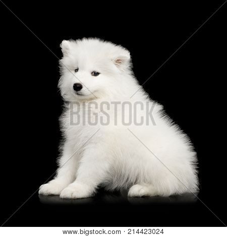 Samoyed Puppy Isolated On Black Background