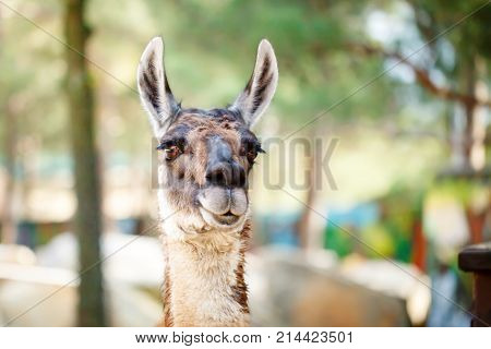 Funny lama close up. National park. Selective focus