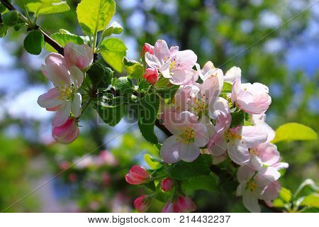 The Apple trees are blooming white flowers. Pink Apple flowers are blooming in sky background. White Apple tree blossoms. The Apple tree twig with white flowers Spring flower background. Apple tree in bloom. Apple blossoms in the sun