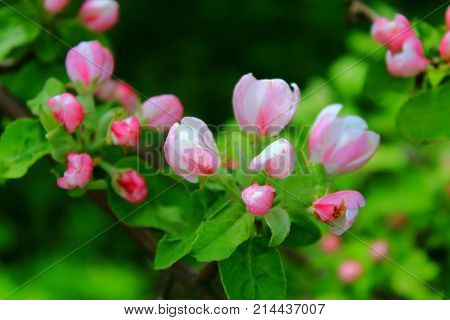 The Apple trees are blooming white flowers. Pink Apple flowers are blooming among the branches. White Apple tree blossoms. The Apple tree twig with white flowers Spring flower background. Apple tree in bloom. Apple blossoms in the sun. Small Pink flower b