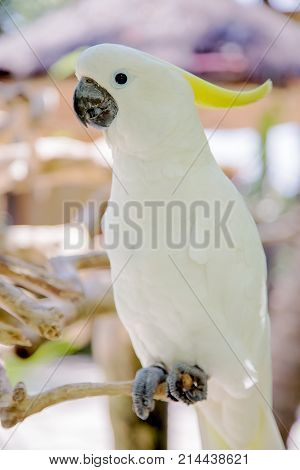 Big White Parrot Bird With Yellow Crest. Cockatoo, Sulphur-crested