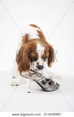 Beautiful friendly cavalier king charles spaniel dog. Purebred canine trained dog puppy. Blenheim spaniel dog puppy with shoe. Photo.