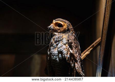 White-browed Hawk Owl In Zoo. Ninox Superciliaris