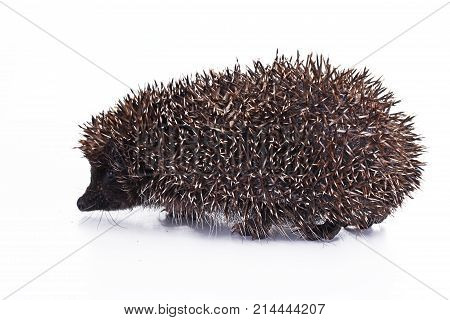 Cute hedgehog. Hedgehog quill closeup. hedgehog spike spikes quills as texture background. Hedgehog is any of the spiny mammals of the subfamily Erinaceinae, in the eulipotyphlan family Erinaceidae. Photo.