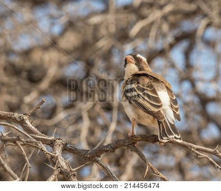A White-Browed Sparrow-Weaver perched on a thorn tree in the Kgalagadi Transfrontier Park straddling South Africa and Botswana.