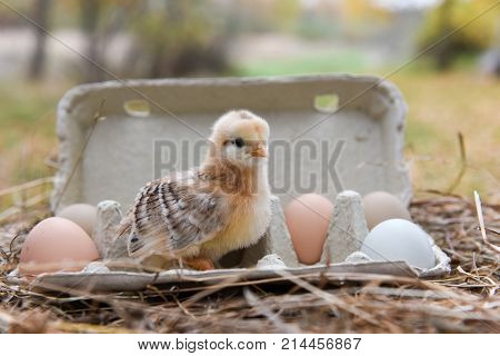 funny little chicken in egg box on Easter