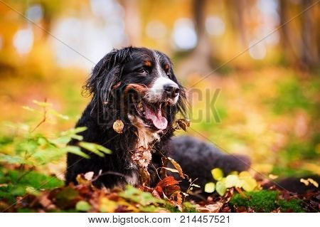 Bernese Mountain Dog In An Autumn Forest