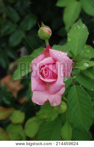 Carolina Rose (Rosa carolinae) just beginning to open a bud. Very popular in landscaping.