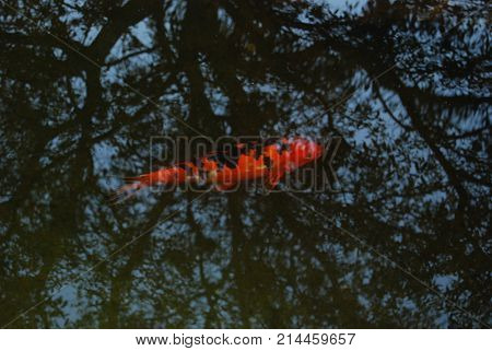 A koi fish under a reflective veil of tree branches and leaves backed by a blue.