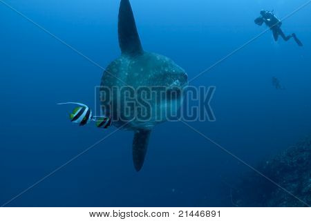 Sunfish, Bannerfish and divers at Bali, Indonesia poster