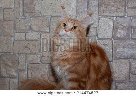 Adult maine coon on the background of a stone wall. Pets animals.