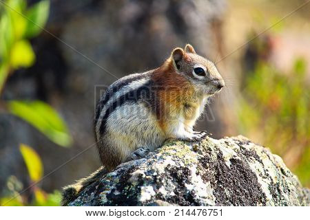 Closeup Of A Golden Mantled Ground Squirrel On A Rock