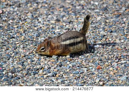 A Golden Mantled Ground Squirrel Scurrying On The Ground